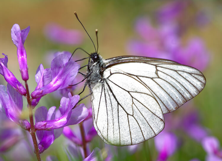 Lady butterfly on flower
