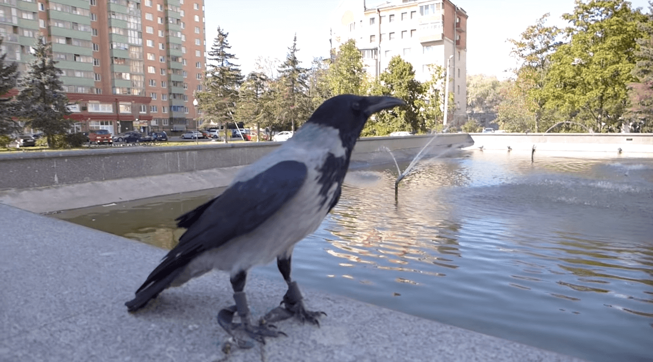 Grey crow in front of apartment buildings