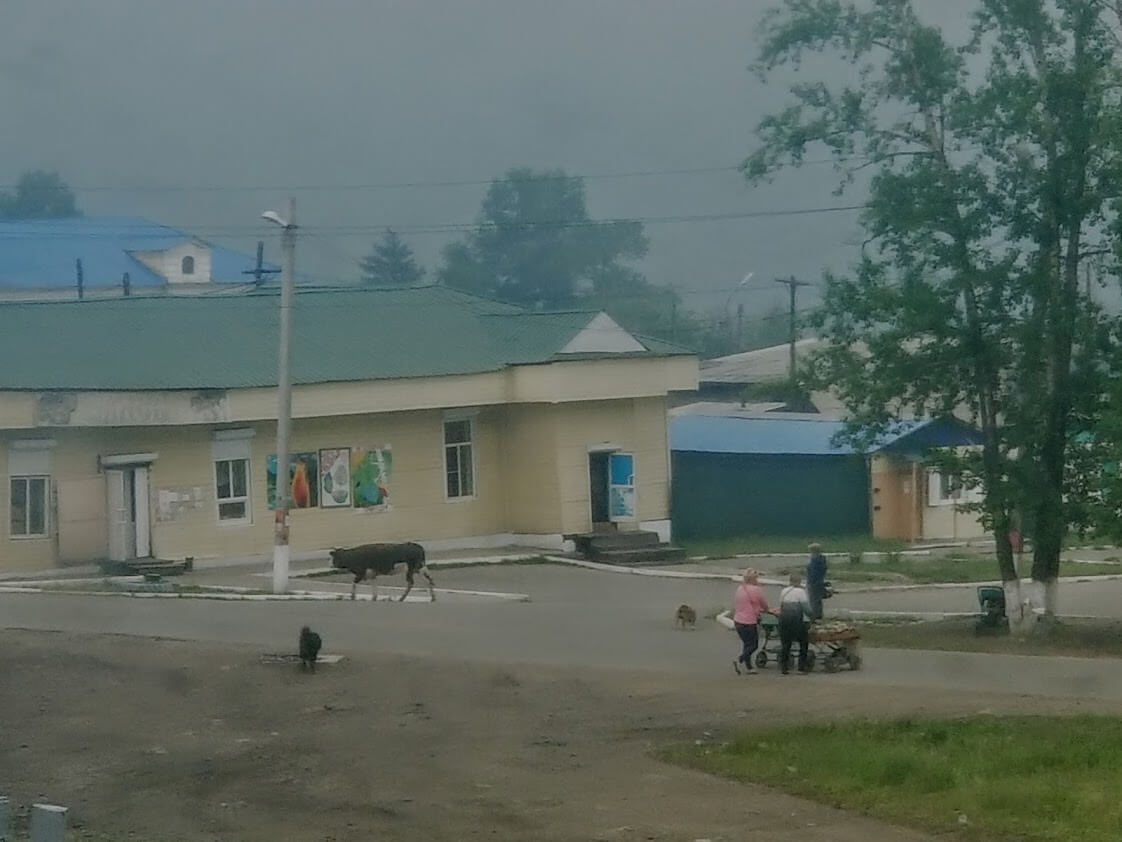 A Russian village with a cow