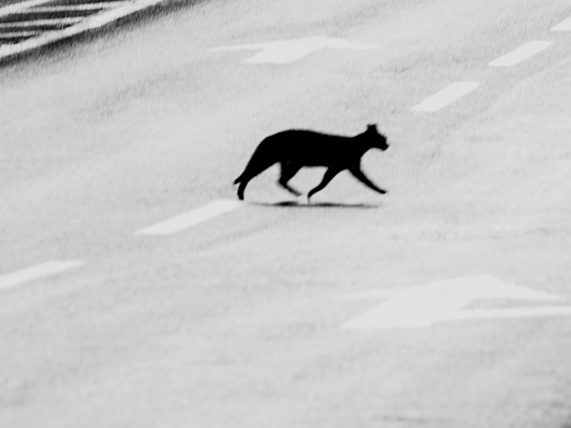 Why Did the Cats Cross the Street?